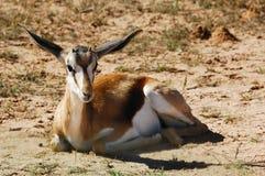 marsupialis antidorcas αντιδορκάδα Στοκ εικόνες με δικαίωμα ελεύθερης χρήσης