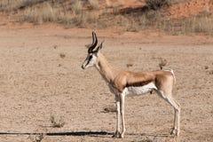 Marsupialis Antidorcas прыгуна в Kgalagadi Стоковые Изображения RF