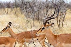 Marsupialis del Antidorcas dell'antilope saltante Immagine Stock