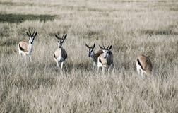 Marsupialis del Antidorcas dell'antilope dell'antilope saltante in savana fotografia stock libera da diritti