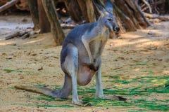 Cute kangaroo marsupial in the public park Royalty Free Stock Image