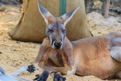 Cute kangaroo marsupial in the public park Stock Photography