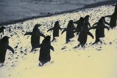 marszów pingwiny Fotografia Stock