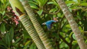 Martín pescador agarrado blanco, Bali fotos de archivo libres de regalías