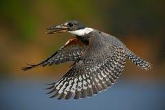 Martín pescador anillado del pájaro de vuelo sobre el río azul con la cuenta abierta, escena en el hábitat de la naturaleza del r Fotos de archivo libres de regalías