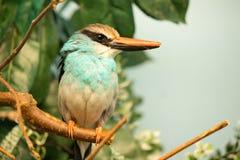 Martín pescador azul-breasted encaramado en un árbol imágenes de archivo libres de regalías