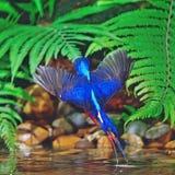 Martín pescador Azul-espigado masculino Imágenes de archivo libres de regalías