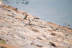 Martín pescador común Foto de archivo libre de regalías