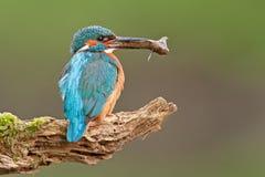 Martín pescador común con un pescado Foto de archivo libre de regalías
