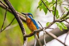 Martín pescador común encaramado en una rama de árbol Fotografía de archivo libre de regalías