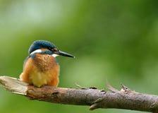 Martín pescador común que se sienta en la rama gorda imágenes de archivo libres de regalías