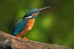 Martín pescador con el fondo verde claro Pájaro del martín pescador, azul y anaranjado que se sienta en la rama en el río Pájaro  Fotos de archivo libres de regalías