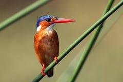Martín pescador de la malaquita imagen de archivo libre de regalías