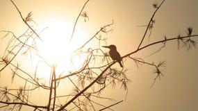 Martín pescador de la puesta del sol Imagenes de archivo