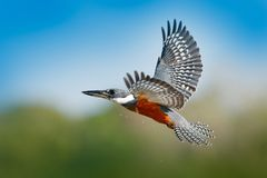 Martín pescador en mosca Martín pescador anillado del pájaro de vuelo sobre el río azul con la cuenta abierta en el Brasil Pantan Imagen de archivo