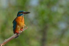 Martín pescador en una rama en fondo verde Foto de archivo libre de regalías