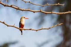Martín pescador Gris-dirigido, sentándose en rama de árbol espinosa del acacia, Kenia, África foto de archivo libre de regalías