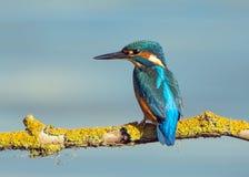 Martín pescador que descansa sobre una rama Imagenes de archivo