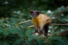 marta Amarillo-throated, flavigula del Martes, en hábitat del bosque del árbol, parque nacional de Chitwan, China Pequeña sentada imagenes de archivo