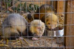 Marta en una jaula que come el roedor animal de la fauna imagen de archivo