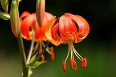 Martagon lilly Stock Foto's