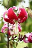 Martagon lily portrait. Stock Image