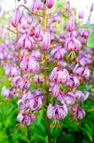 Martagon lily in summer Stock Photo