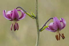 Martagon or Turk\'s cap lily Royalty Free Stock Images