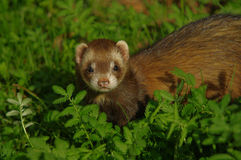 Marten. A nice Marten looking for me Royalty Free Stock Photo