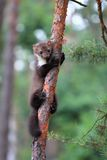 Marten beech, lat. Martes foina on the pine tree Royalty Free Stock Images