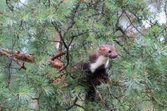 Marten beech, lat. Martes foina on the pine tree Stock Photo