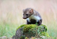 Marten beech, lat. Martes foina on the pine tree Stock Photography