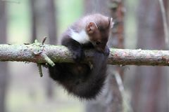 Marten beech, lat. Martes foina on the pine tree Royalty Free Stock Image
