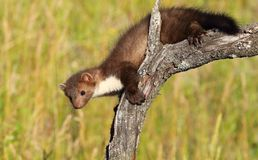 Marten on branch Royalty Free Stock Images