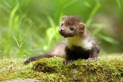 Marten in forest Stock Image