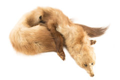 Marten fur collar Royalty Free Stock Photos
