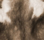 Marten fur. Stock Images