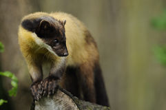 Marten Giallo-throated (flavigula del Martes) Immagine Stock