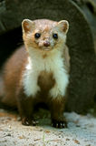Marten Stock Photos