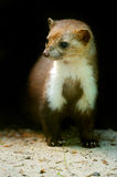 Marten. Habitat in natural environment Royalty Free Stock Photos
