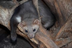 Marten. Hanging on a tree Stock Image