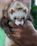 Marten in human hand Royalty Free Stock Photo