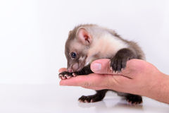 Marten in human hand Stock Photos