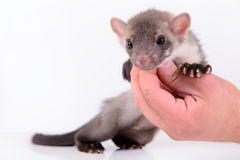 Marten in human hand Royalty Free Stock Images