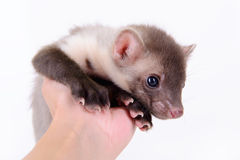 Marten in human hand Stock Images