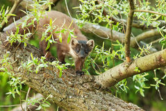 Marten (Martes martes) is going after a fallen tree Royalty Free Stock Image