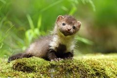 Marten on moss Stock Photo
