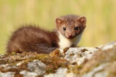 Marten on mossy rock Royalty Free Stock Image