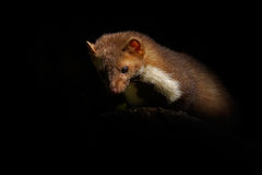 Marten in night. Beech marten, Martes foina, with clear green background. Stone marten, detail portrait. Small predator sitting on. Stone Royalty Free Stock Photos