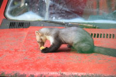 Marten Royalty Free Stock Photography